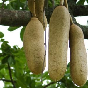Kigelia Africana Extract
